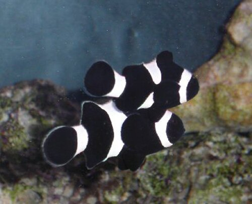 Clown fish facts: Black Percula Clown Fish