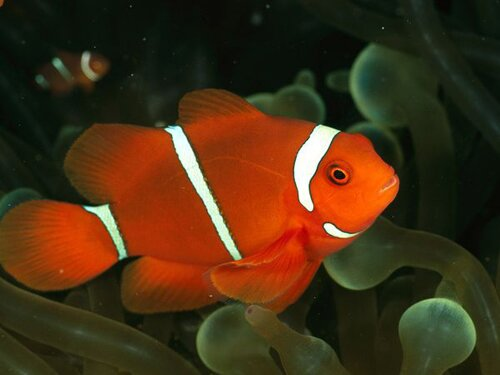 Clown fish facts: Orange clown fish