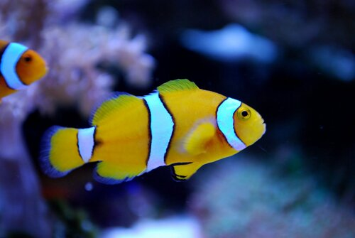 Clown fish facts: Yellow-Percula-Clown