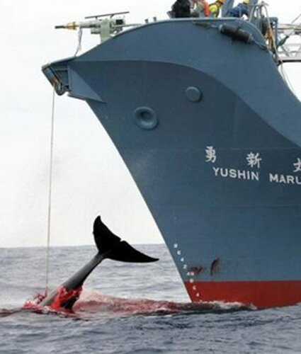Japan facts: Whaling