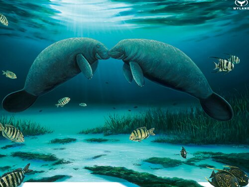 Manatee facts: kissing manatee