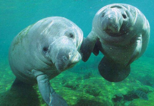 Manatee facts: manatee couple