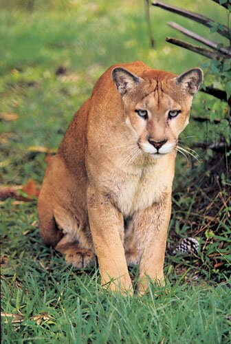 Panther facts brown colored panther 10 Interesting Facts about Panther