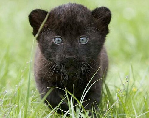Panther facts cub 10 Interesting Facts about Panther
