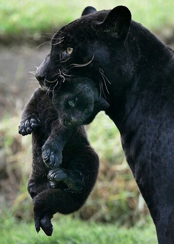 Panther facts panther family 10 Interesting Facts about Panther