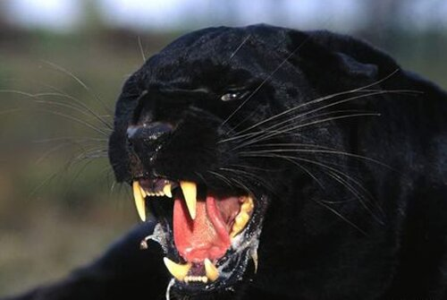 Panther facts sharp teeth 10 Interesting Facts about Panther