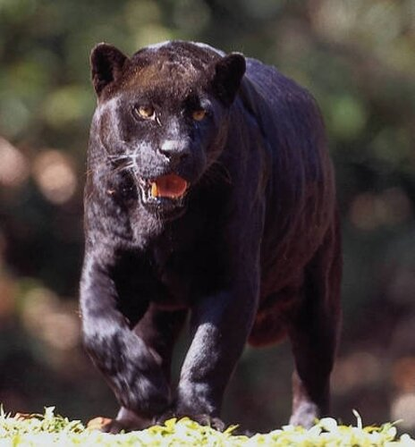 Panther facts strong panther 10 Interesting Facts about Panther
