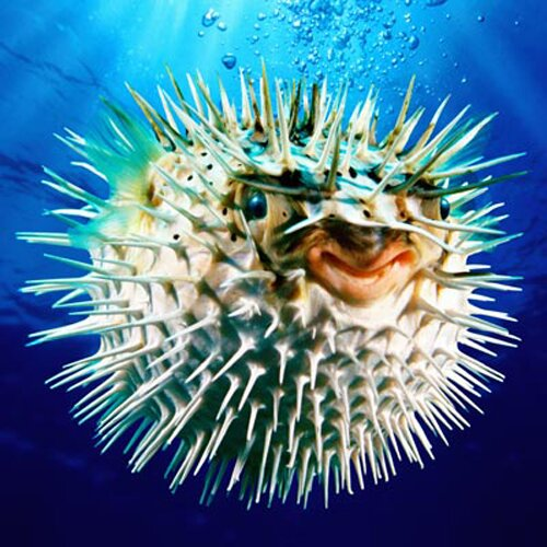Puffer fish facts: Gallbladder