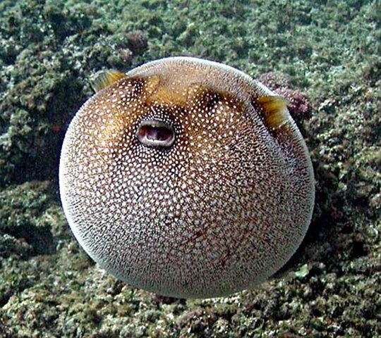 10 interesting puffer fish facts in fact collaborative for Blowfish vs puffer fish