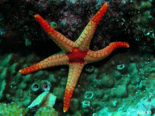 Starfish facts Fromia monilis 10 Interesting Starfish Facts