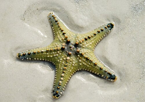 Starfish facts: Green Starfish