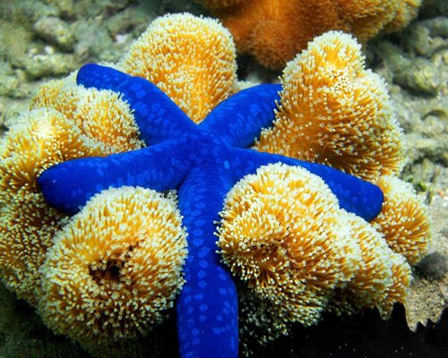 Starfish facts: blue starfish