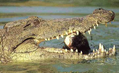 Crocodile facts: eating fish
