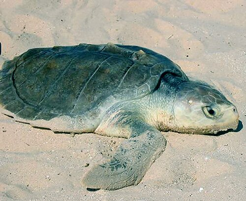 Facts about turtle: Kemp's Ridley Sea Turtle