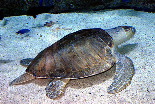 Facts about turtle: Olive Ridley Sea Turtle