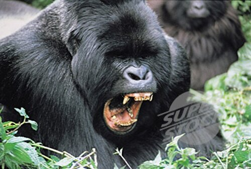 Gorilla facts Angry Gorilla 10 Interesting Facts about Gorilla