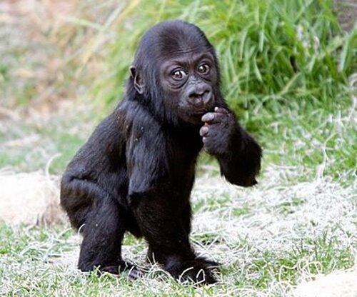 Cute baby gorilla - photo#15