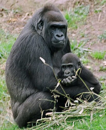 Gorilla facts: Gorilla with baby