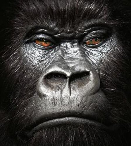 Gorilla facts Gorillas Expresssion 10 Interesting Facts about Gorilla