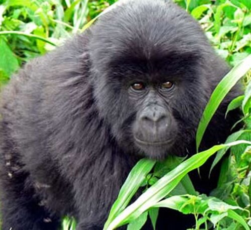 Gorilla facts Rwanda Gorilla 10 Interesting Facts about Gorilla