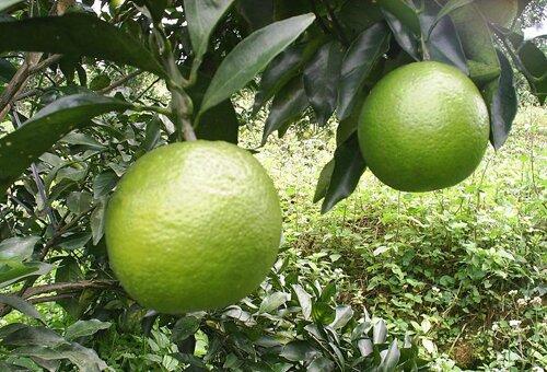 Orange facts: green orange