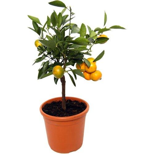 Orange facts: orange tree