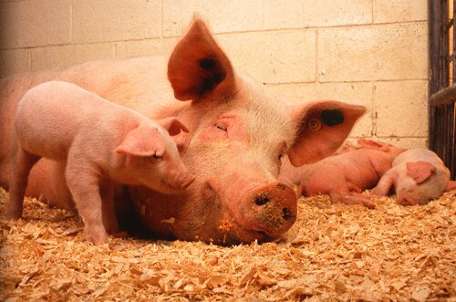 Pig facts: baby pig and sow
