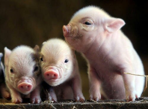 Pig facts baby pigs 10 Interesting Pig Facts