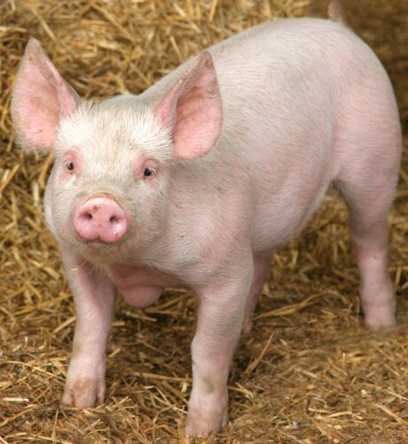 Pig facts pink pig 10 Interesting Pig Facts