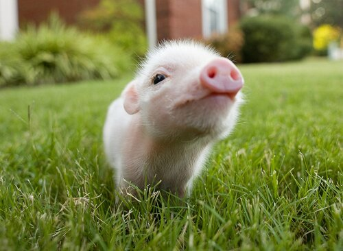 Pig facts: small pig