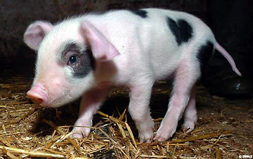 Pig facts: unique pig