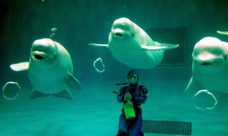 Beluga whale facts group of Beluga Whale 10 Interesting Beluga Whale Facts