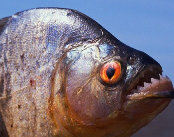 Facts about piranha: big piranha