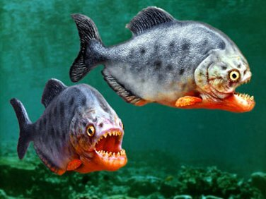 Facts about piranha: hungry piranha