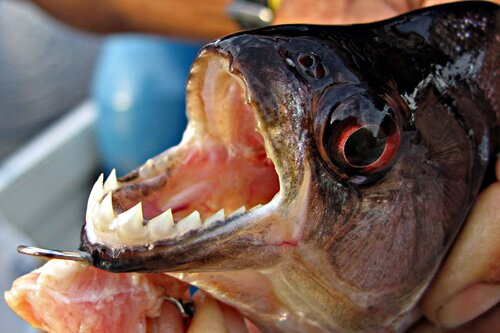 Facts about piranha: jaws