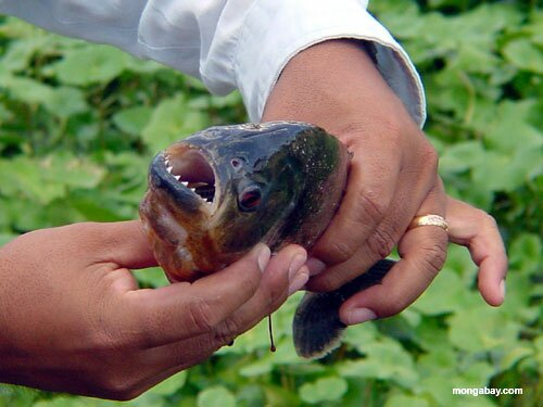 Facts about piranha: piranha's head
