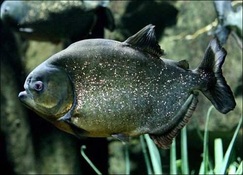 Facts about piranha: powerful piranha