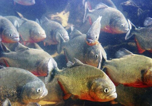 Facts about piranha: red bellied piranhas