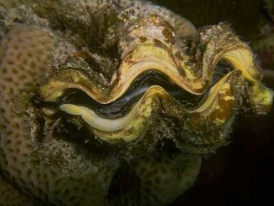 Mollusks facts: big mollusk