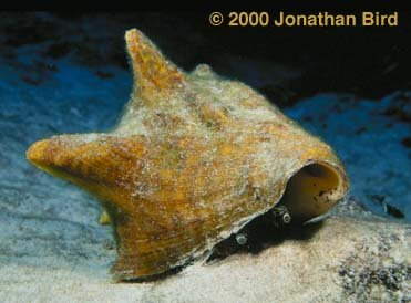 Mollusks facts: brown mollusk
