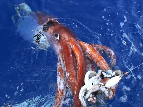 Mollusks facts: giant squid