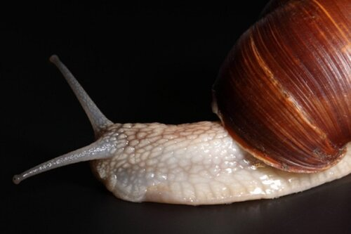 Mollusks facts: slow snail