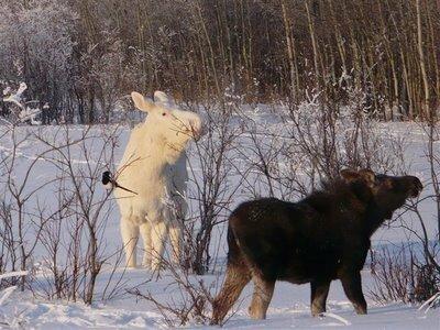Montana facts: moose