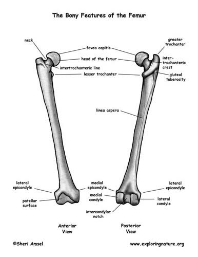 Skeletal system facts: femur