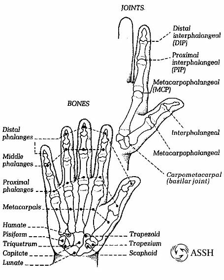 Skeletal system: facts finger