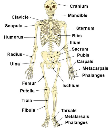 Skeletal system facts: skeleton