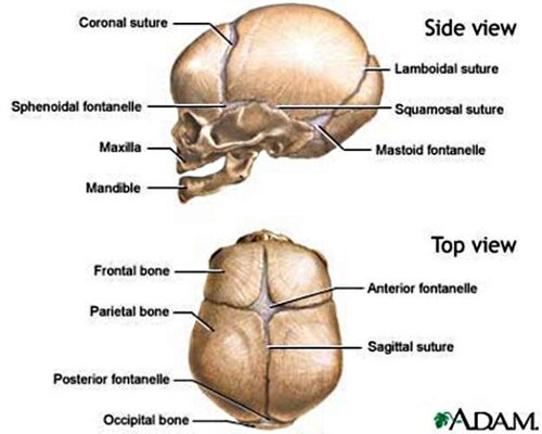 Skeletal system: facts skull