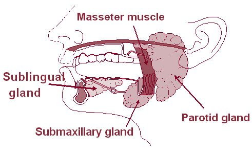mouth facts: salivary glands