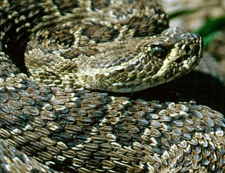 South Dakota facts: The Prairie Rattlesnake