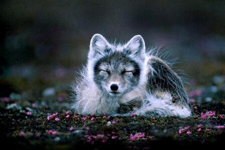 Facts about Arctic fox - In Svalbard, Norway
